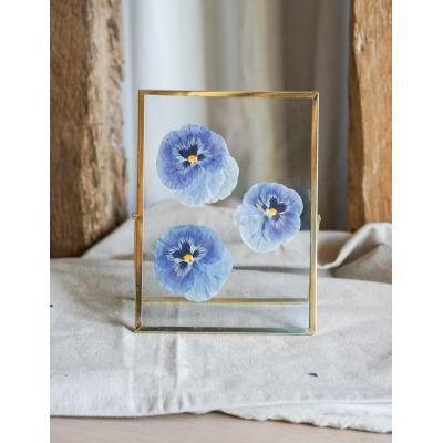 Herbier de fleurs séchées Pensée bleue cadre doré Accueil